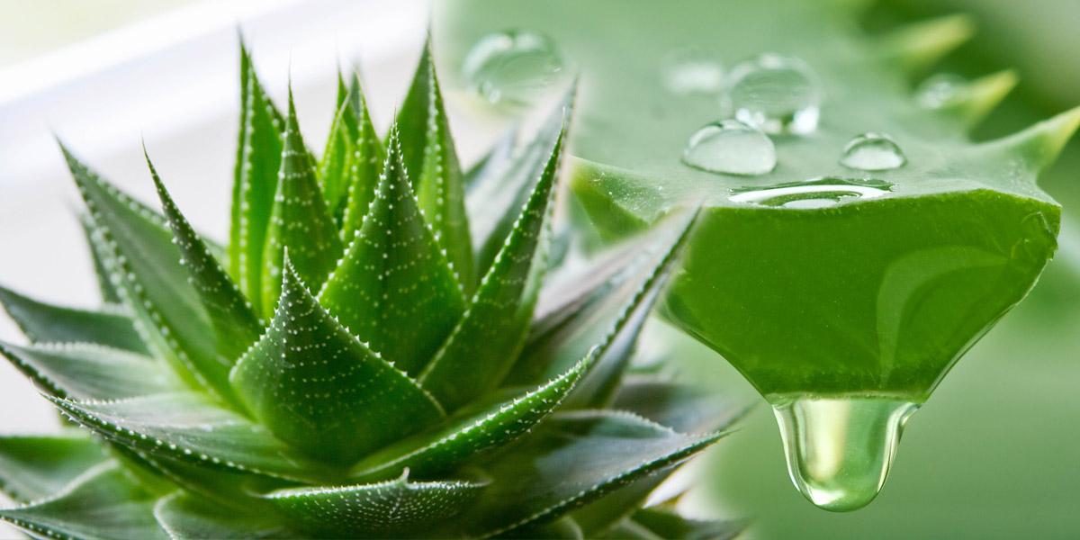 Aloe patří mezi známé léčivé rostliny. Existuje až 500 druhů aloe a pouze některé druhy mají léčivé účinky. Které druhy to jsou a které jsou nejlepší?