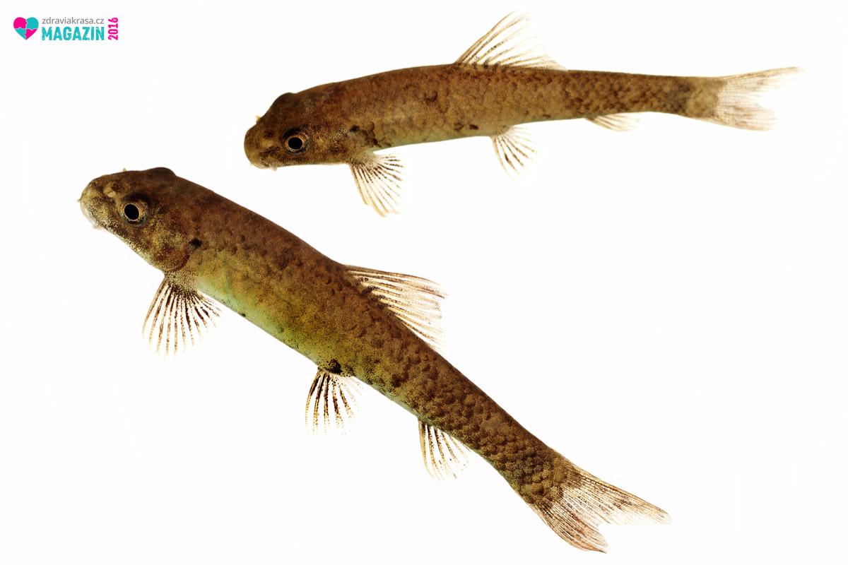 Takto vypadá pomocník při lupence – rybka Garra Ruffa.