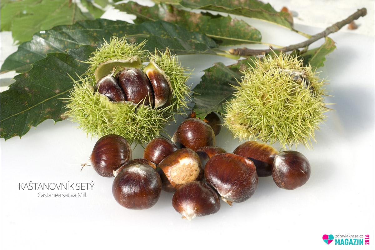 Kaštanovník setý, též kaštanovník jedlý nebo jedlý kaštan (lat. Castanea sativa Mill.)