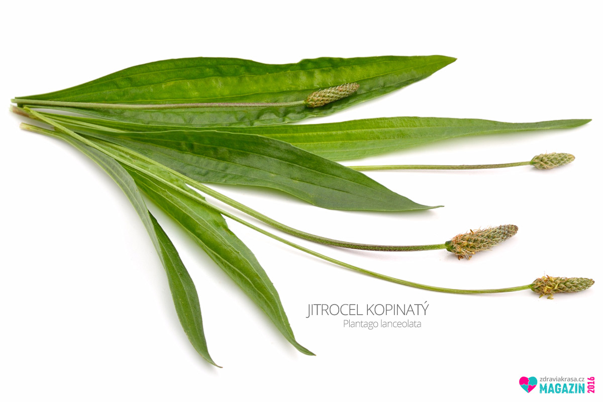 Jitrocel kopinatý (lat. Plantago lanceolata)