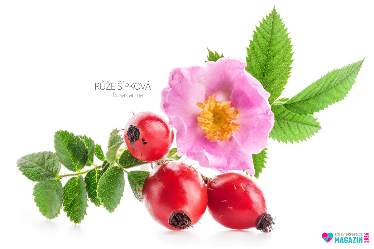 Růže šípková (lat. Rosa canina)