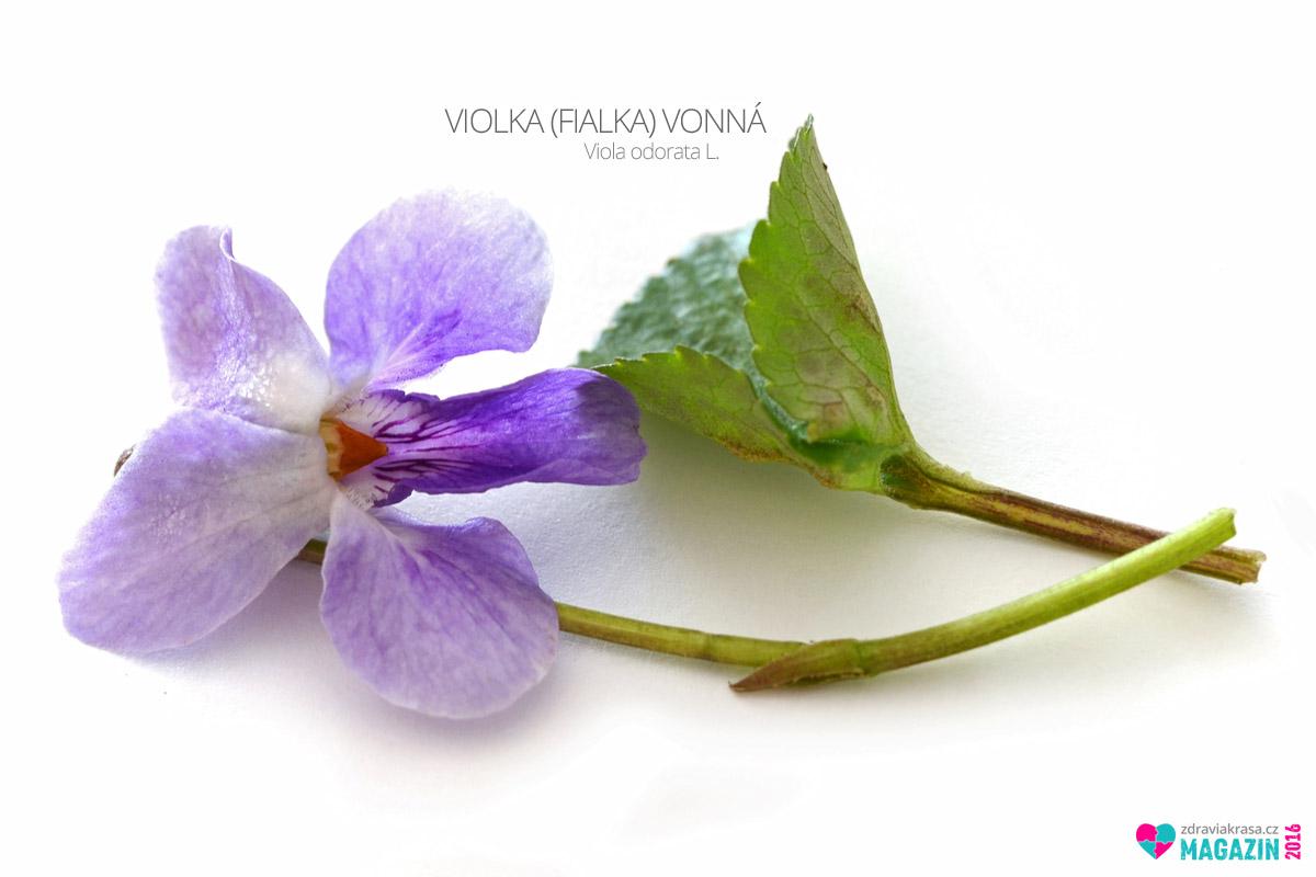 Violka vonná, lidově zvaná fialka, (lat. Viola odorata L.)