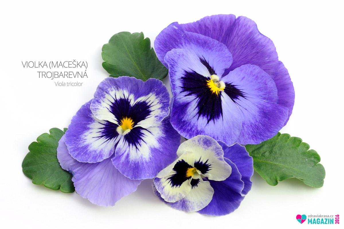 Violka trojbarevná neboli maceška trojbarevná (lat. Viola tricolor)