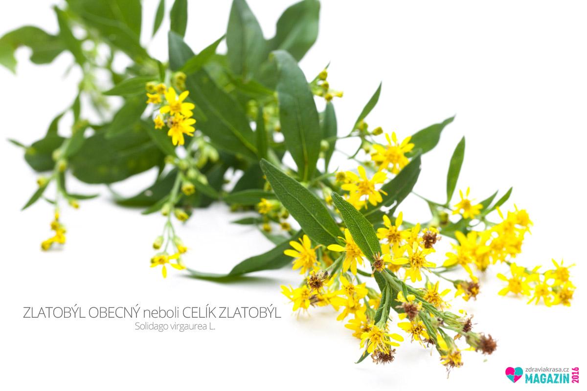 Zlatobýl obecný, též celík zlatobýl (lat. Solidago virgaurea L.)