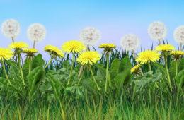 Pampeliška není jen plevel. Je to velice významná rostlina, kterou často přes její hojný výskyt přehlížíme. Znáte léčivé účinky pampelišky?