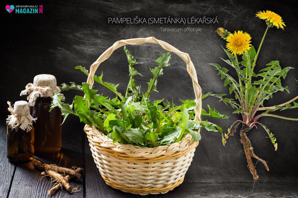 Z pampelišky se pro léčebné účely používají všechny její části – květ, listy i kořen pampelišky.