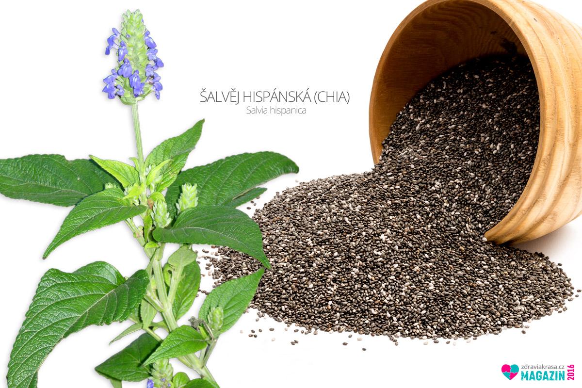Chia, neboli Salvia hispanica v herbáři rostlin.