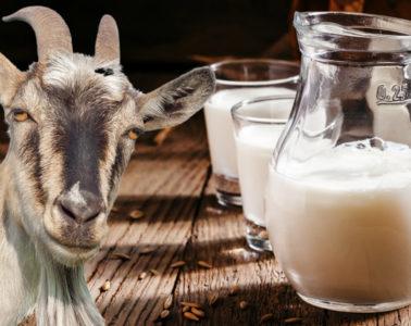Léčivé účinky kozího mléka jsou známy již od starověku. Naši předkové používali kozí mléko jako lék, včetně kozích výrobků.