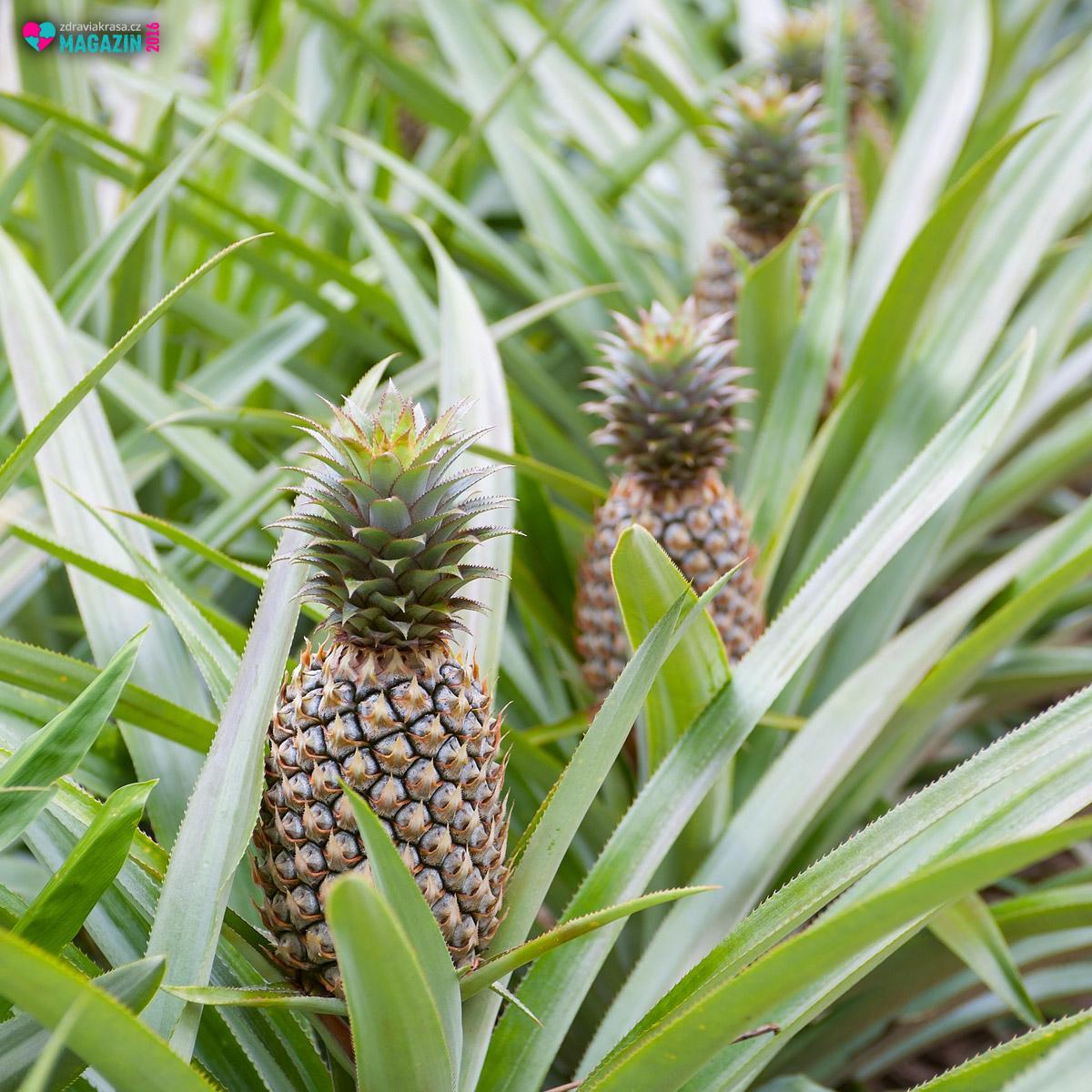 Účinný enzym bromelin se získává se zeleného rostoucího stonku a z dužiny ananasu.