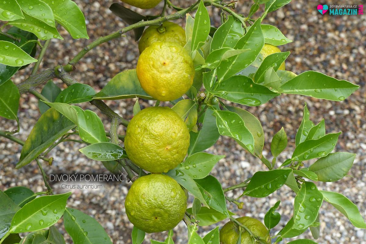 Rostoucí Citrus aurantium.
