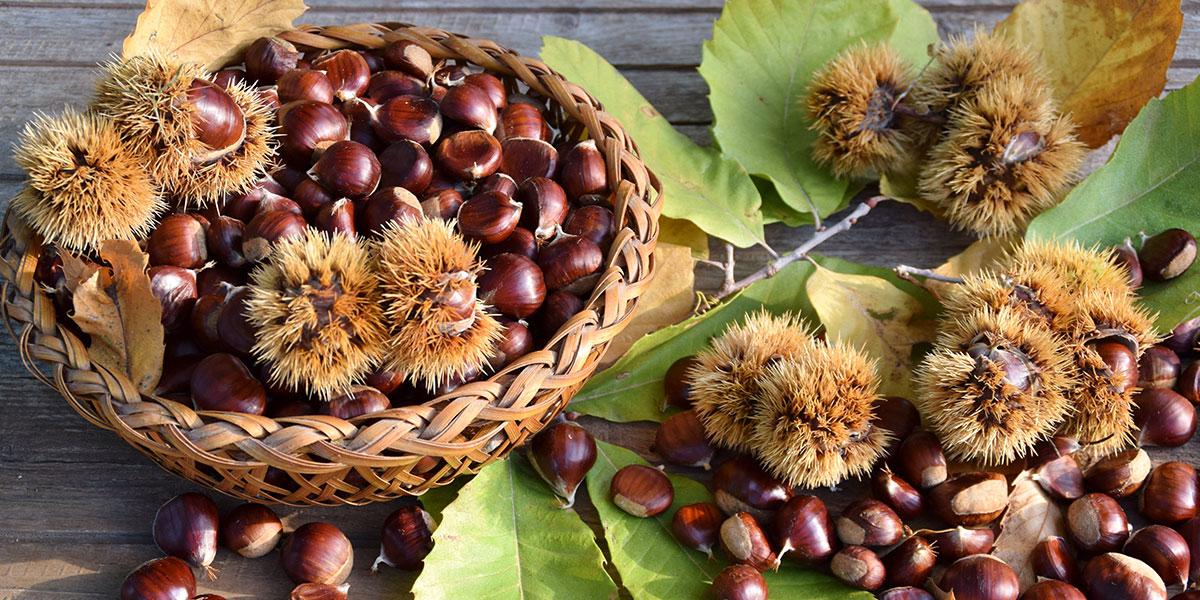 Když na podzim hledáte pochutinu, která nutriční hodnotou a obsahem důležitých látek převyšuje ostatní, nenajdete nic lepšího než jedlé kaštany.