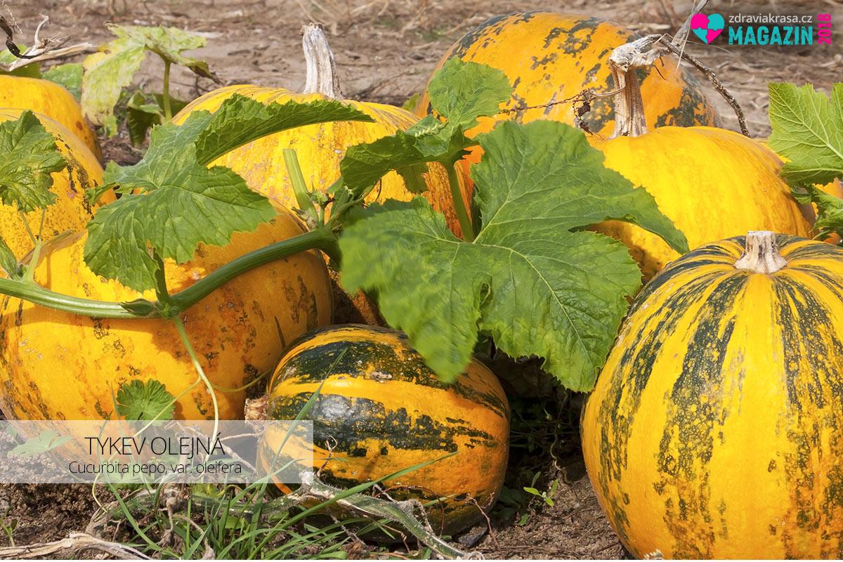 Plody tykve olejné (lat. Cucurbita pepo, var. oleifera) před sběrem na poli. Na litr dýňového oleje je zapotřebí cca 35 tykví.