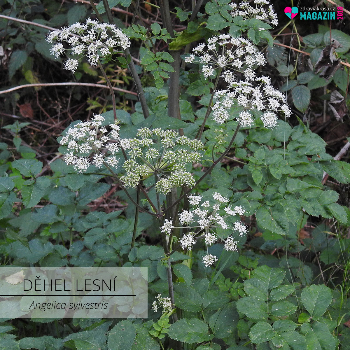 Nespleťte si bršlici s děhelem lesním. Na obrázku je děhel lesní (latinsky Angelica sylvestris).